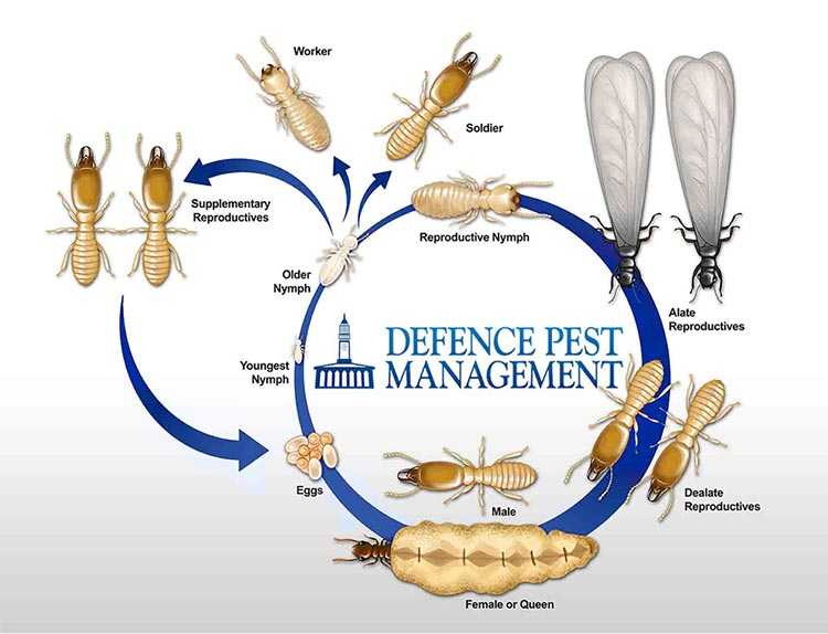 termite-life-cycle